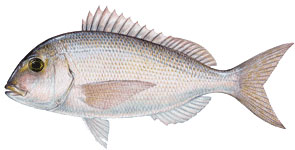 Red porgy.