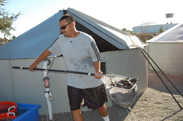 Research technician, Robert Farnell nets black sea bass for seafood market distribution.