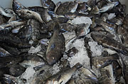 Black sea bass on ice for seafood market