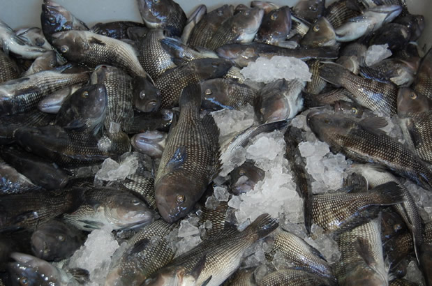 Iced black sea bass for transfer to Atlantic Seafood.