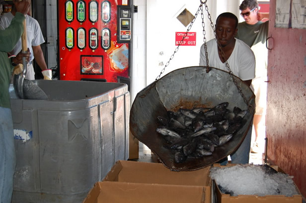 Weighing and boxing of black sea bass at Atlantic Seafood for distribution to markets.
