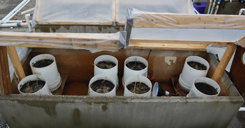 <em>Salicornia sp</em>. experimental set-up for black sea bass effluent mitigation trial.