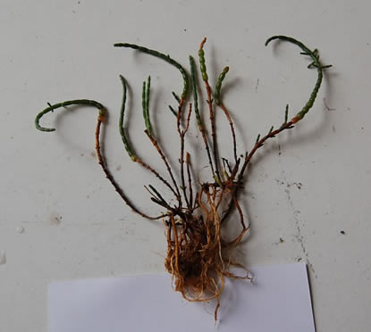 <em>Salicornia sp</em>. sample from effluent mitigation trial.
