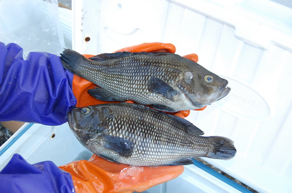 Black sea bass going in ice cooler for market.