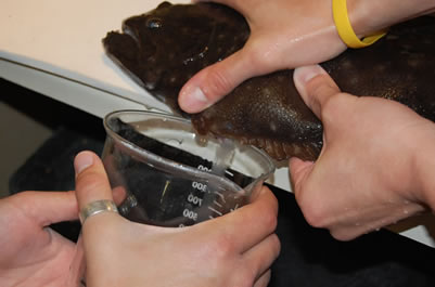 Strip spawning a female southern flounder.