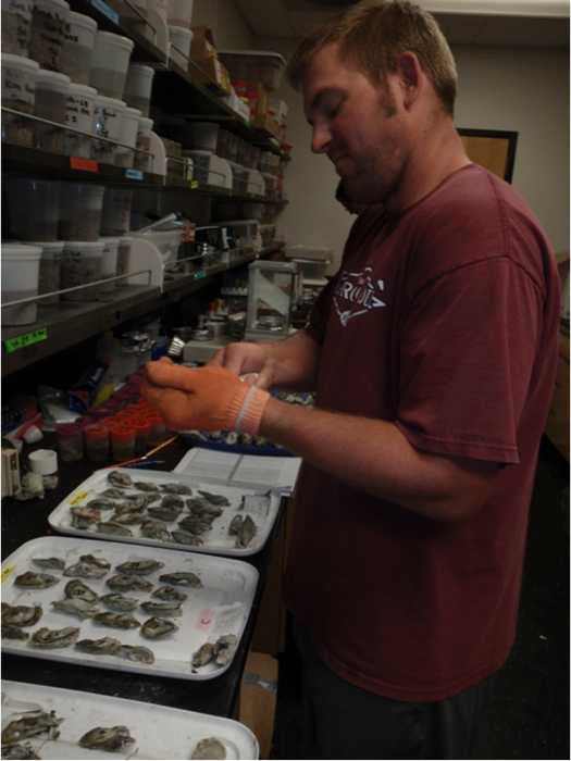 Marc processing oysters for condition