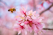 Bee hovers near pink flowers