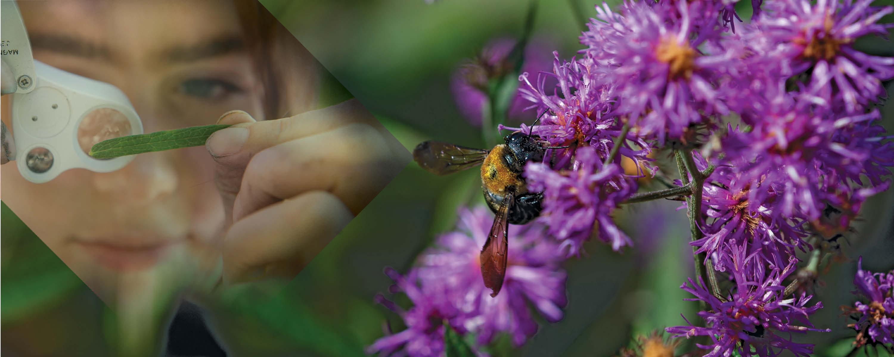 Bee on a purple flower, student inspecting a plant