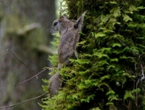 A Humboldt's flying squirrel.