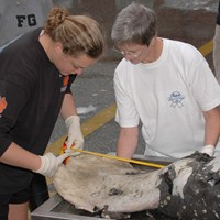 Ann Pabst works with student to examine stranded mammal