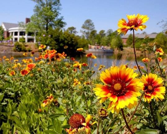 bright yellow and red flowers in the foreground, UNCW brick building blurry in background