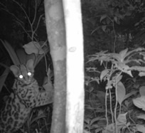 Margay photo taken with Reconyx camera