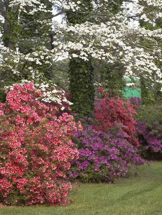 flowering dogwood tree surrounded by azealeas in bloom